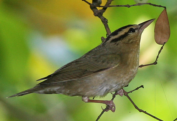 Worm-eating warbler, photo by Tomfriedel courtesy of Wiki commons.