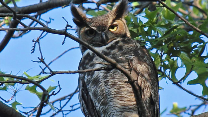 Great-horned owl. Photo by Andy Reago & Chrissy McClarren  / Wikimedia.