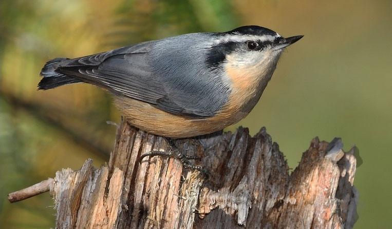 Red-breasted nuthatch photo by P. Bonenfant / Wikimedia Commons