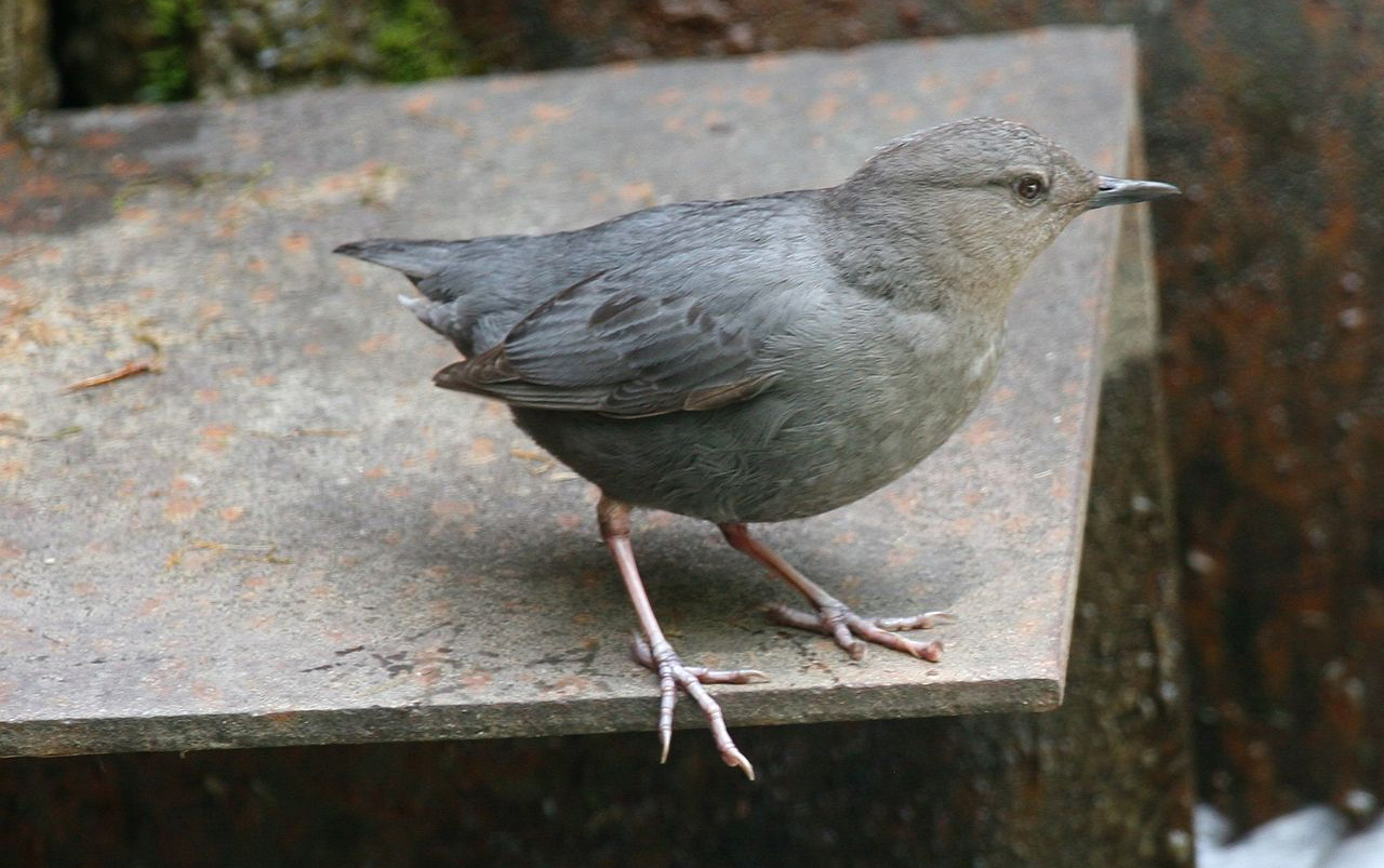 American dipper photo by Dominic Sherony / Wikimedia.