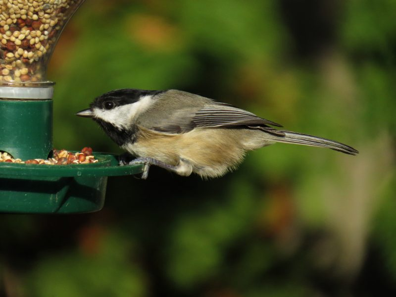 Black-capped chickadee at my soda bottle feeder by Andy Pustay
