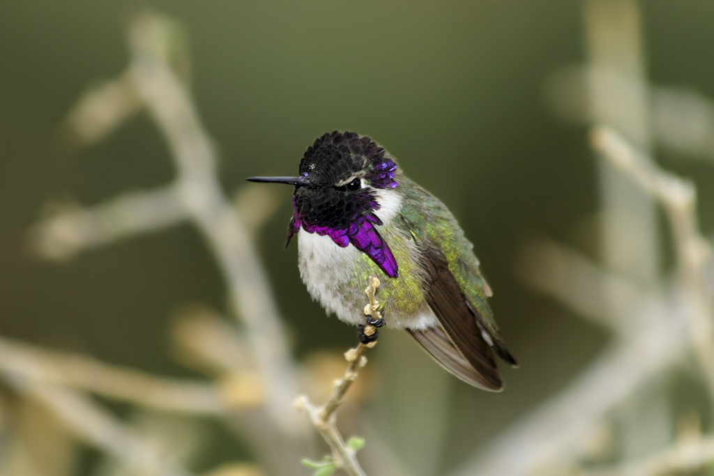 Costa's Hummingbird (male). Photo by Alan Vernon / Wikimedia.