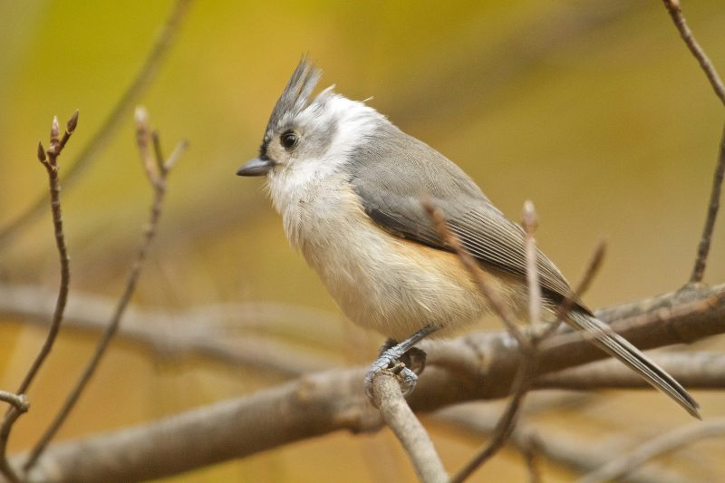 Unusual Tufted Titmouse by Gene McGarry