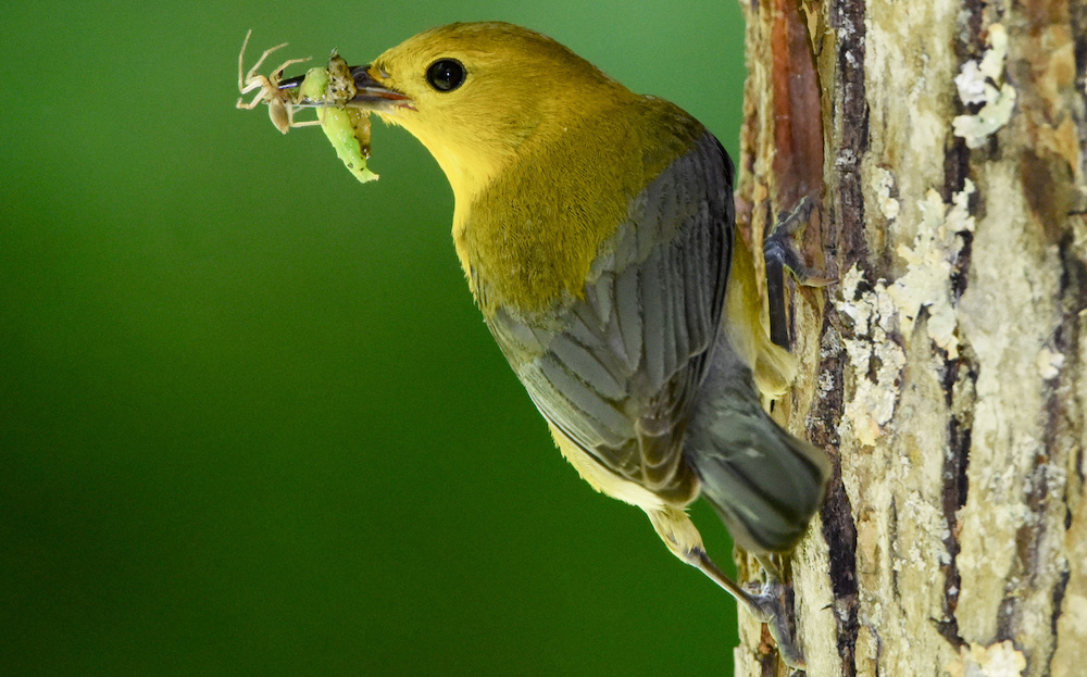 Prothonotary warbler. Photo by Doug Tallamy.
