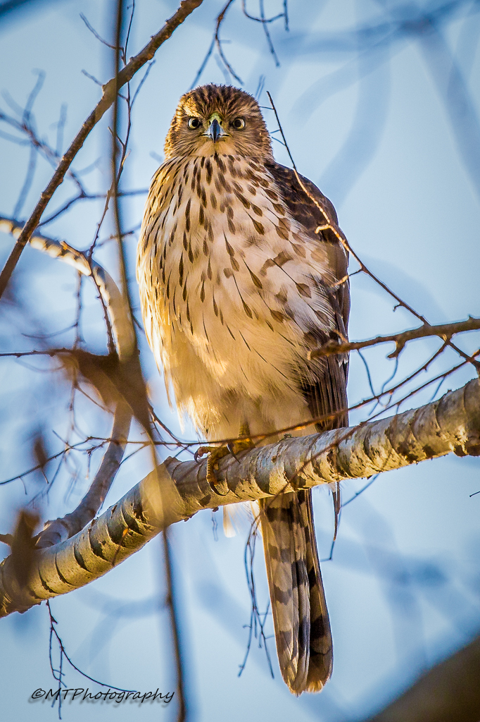 Juvenile Coopers hawk by Malcolm Tully