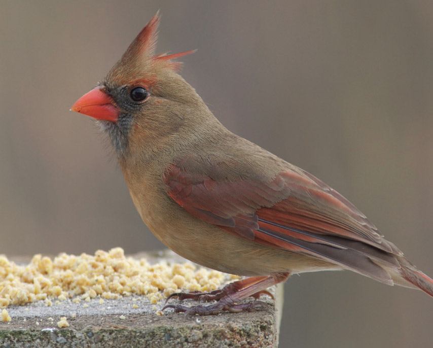 Many species adore Zick Dough, including cardinals. Photo by Julie Zickefoose.
