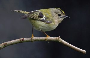 Golden-crowned kinglet, photo by Francis C. Franklin/ Wikimedia Commons.