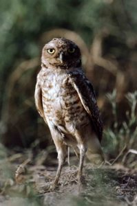 Burrowing owls are active during the day and comfortable near human settlements. Photo by W. Meinzer.