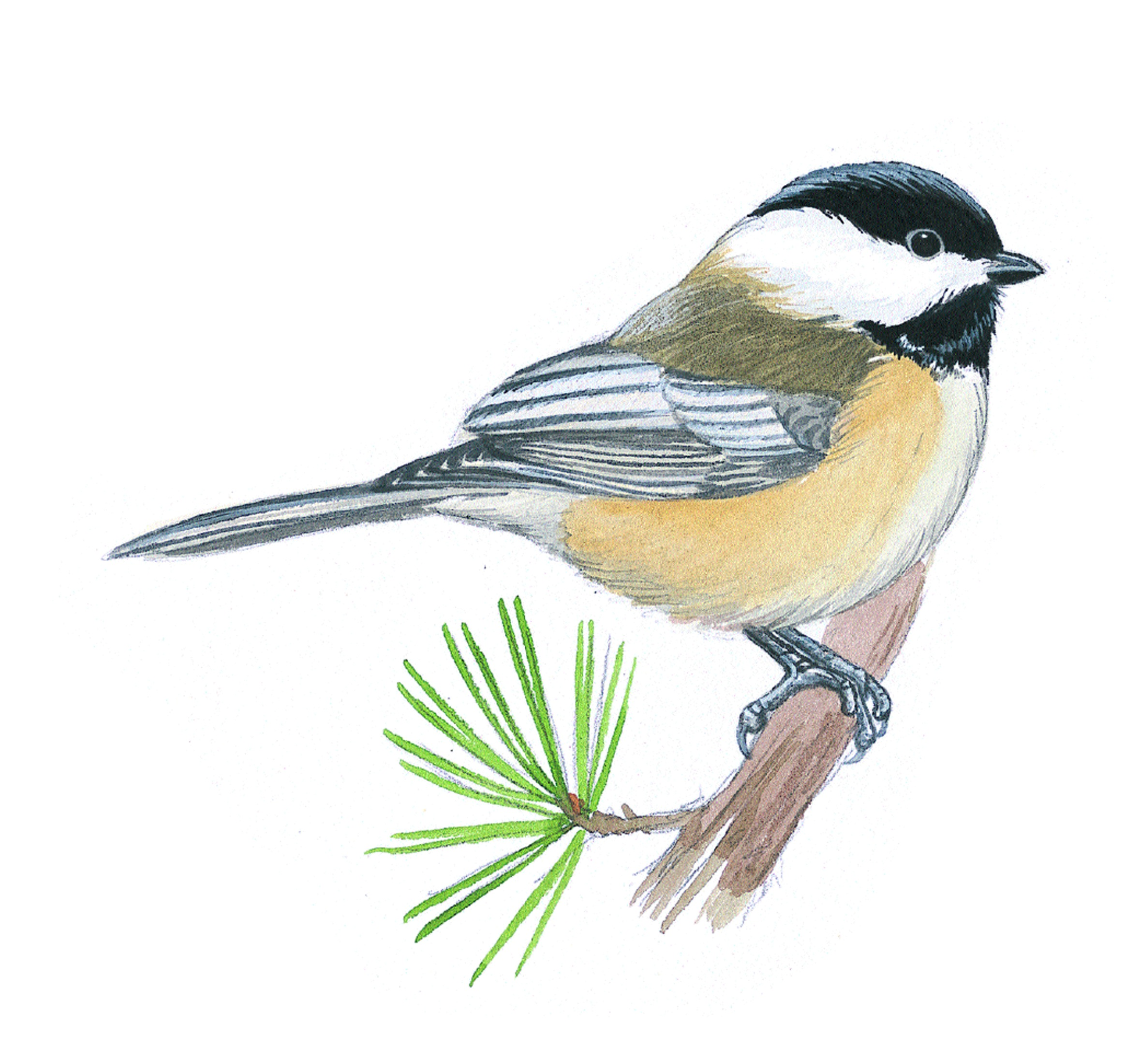how to identify chickadees bird watcher u0027s digest
