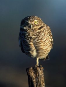 Burrowing owls are among the most conspicuous owls in the United States. Photo by W. Meinzer.