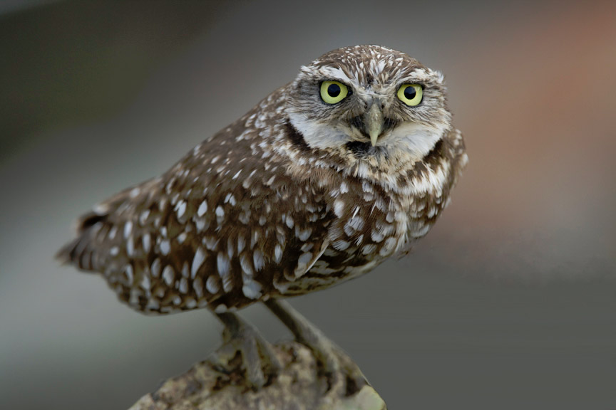 Burrowing owl, photo by Gregory S. Smith / Wikimedia Commons.