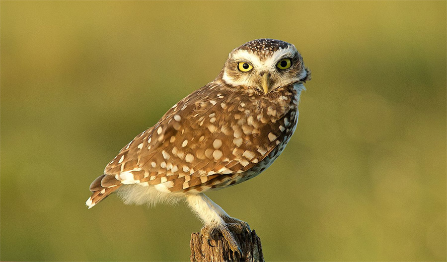A burrowing owl perches on a wooden post.