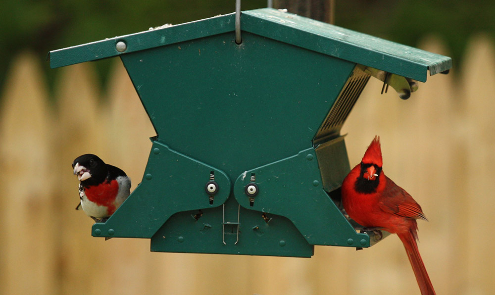 Rose-breasted grosbeak and northern cardinal at feeder. Photo contributed by Chuck  Stewart.