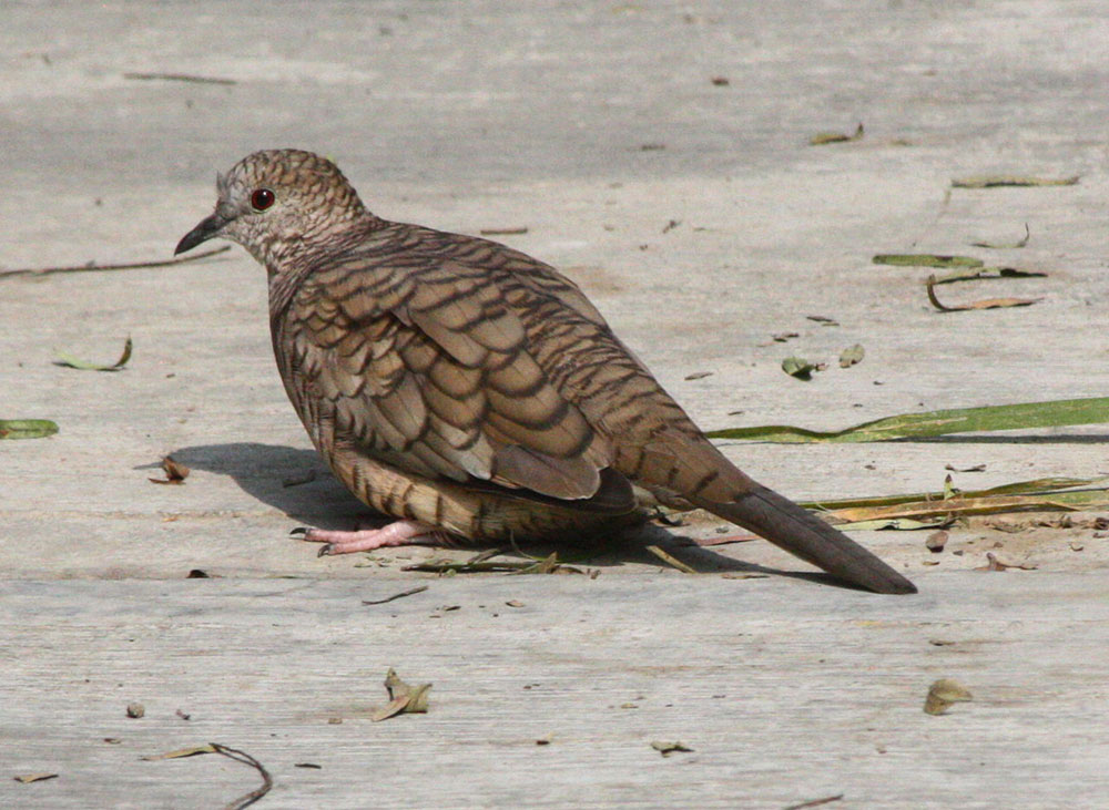 Inca Dove. Photo by Scott Loarie / Wikimedia.