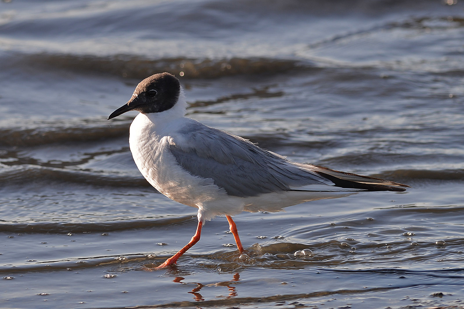 Bonaparte's gull, one of many Mississippi birds you'll find in winter. Photo by Ken Chan / Wikimedia