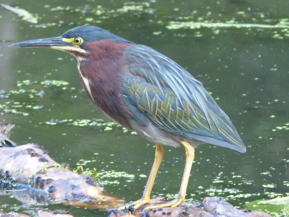 Green Heron by Rich Dulay
