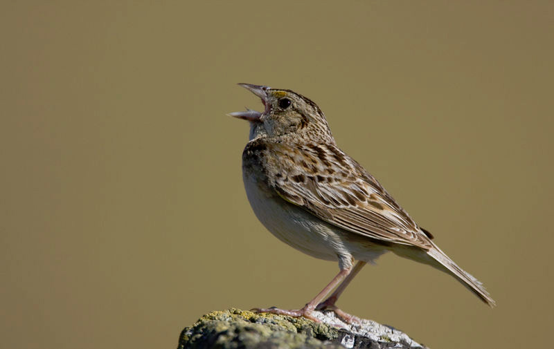 Grasshopper sparrow, photo by Gregory
