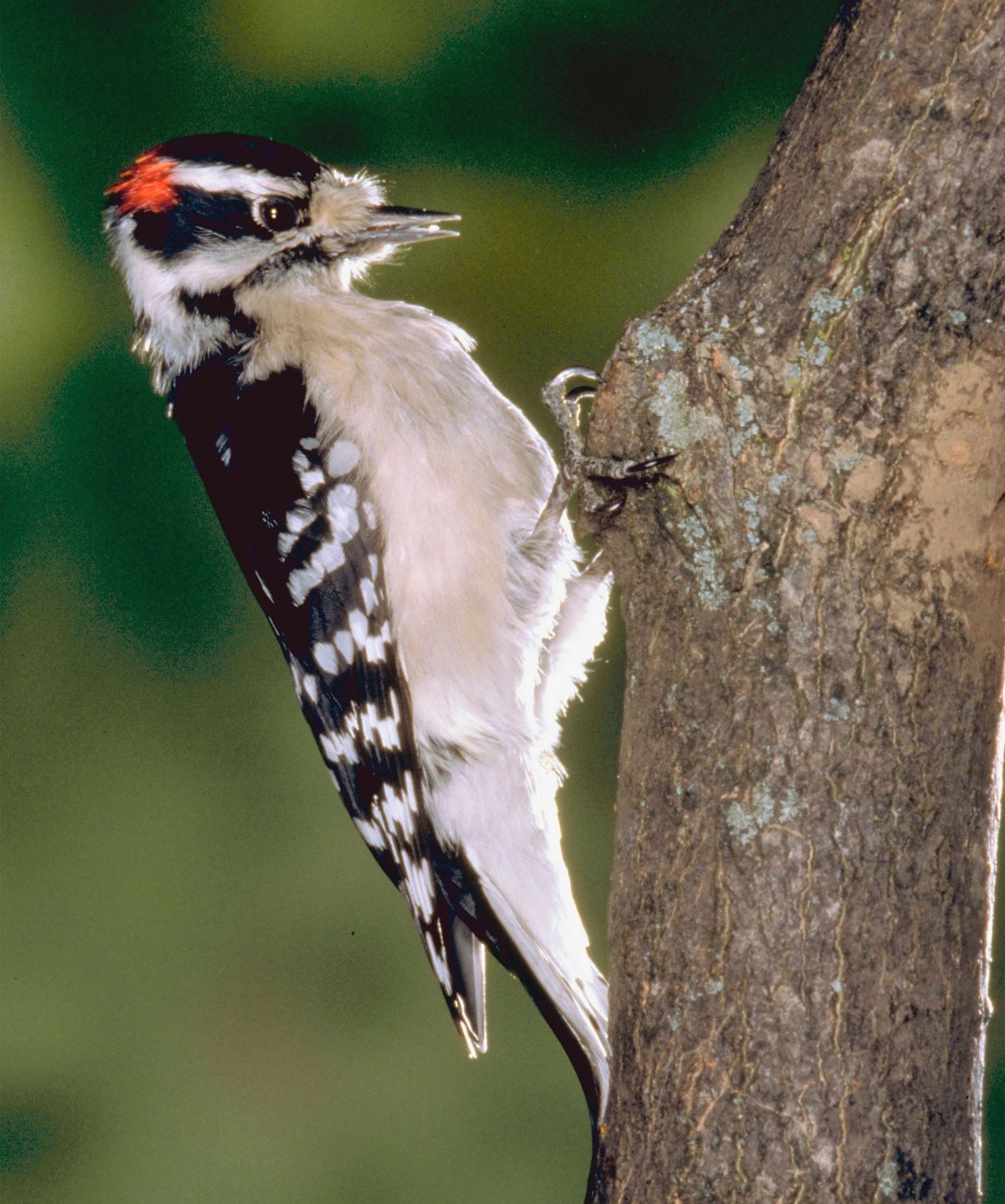 Red-cockaded Woodpecker, photo by Photos.com
