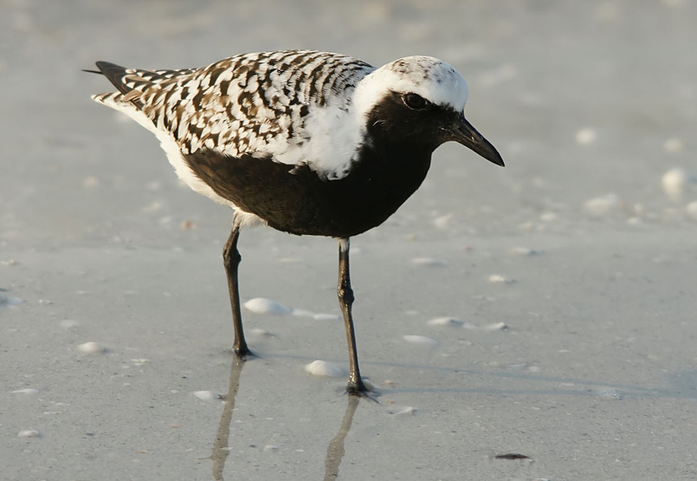 Black-bellied plover photo by Hans Hillewaert /  Wikimedia