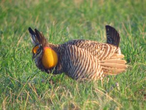 Greater prairie chicken displaying. Photo by GregTheBusker / Wikimedia.