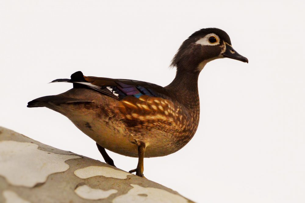 Female Wood Duck by Don Naylor