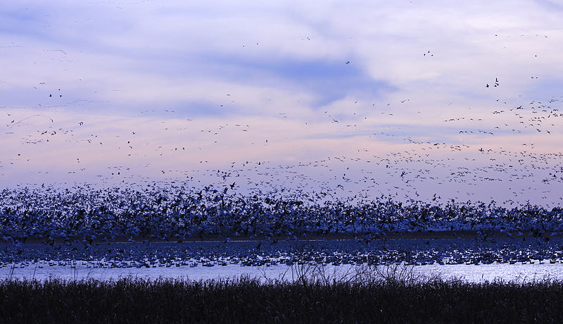 An early migration north for snow geese, as seen at Squaw Creek National Wildlife Refuge in northwest Missouri. Photo by CrunchySkies / Wikimedia.