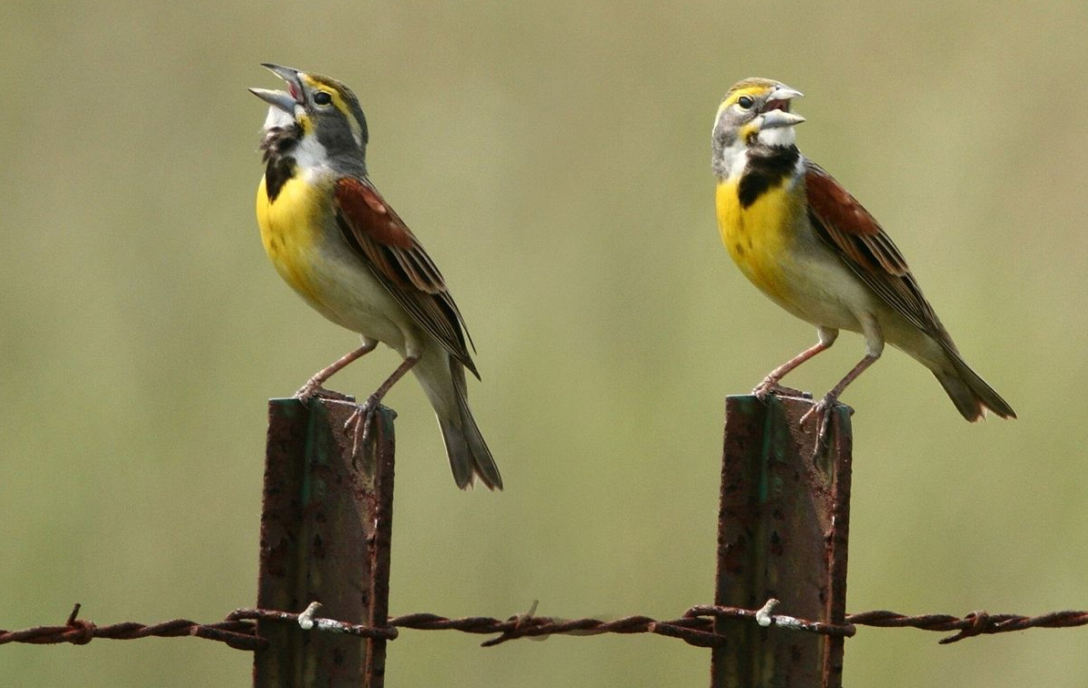 Dickcissels photo by Patti McNeal / Wikimedia