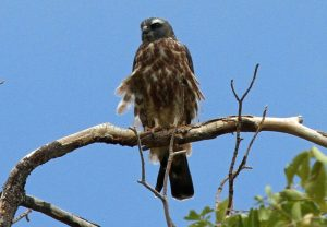 Mississippi Kite photo by GregTheBusker / Wikimedia.