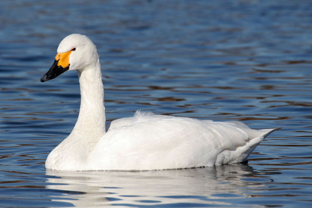 Tundra swan. Photo by Maga-chan / Wikimedia.