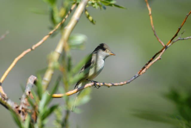 Willow flycatcher. Photo by US Fish and Wildlife Service.