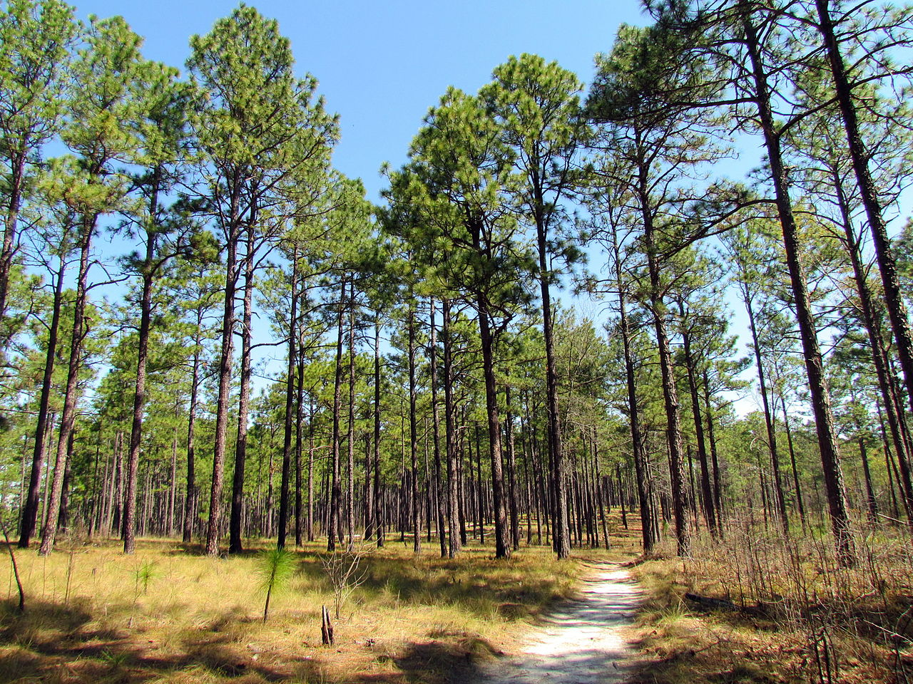 Longleaf pines at Weymouth Woods in North Carolina. Photo by Bobistraveling / Wikimedia.