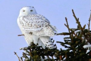 A beautiful snowy owl photographed during the Bird Watcher's Digest Reader Rendezvous in Sax Zim Bog, Minnesota. Photo by Peter Trueblood.