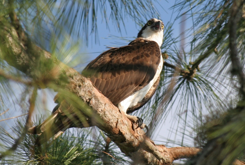 Osprey photo by S.J. Marshall.