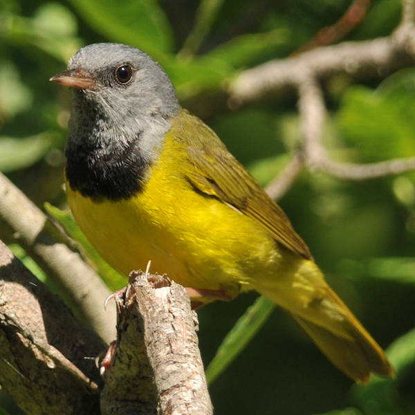Mourning warbler, photo by Brian Henry.