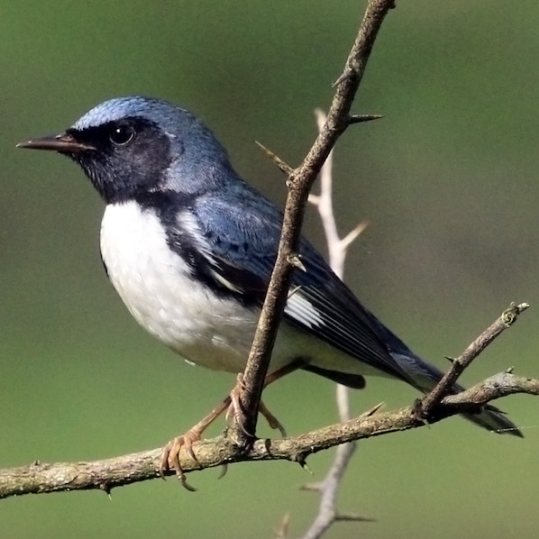 Black-throated blue warbler, photo by Charles J. Sharp.