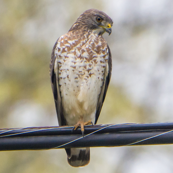 Broad-winged hawk, photo by Andrew C via Wiki Commons