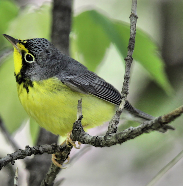 Canada Warbler, photo by Dave Lewis