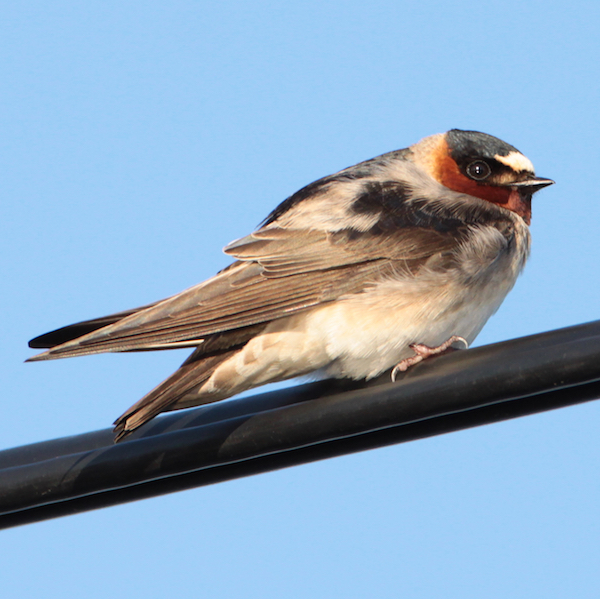 Cliff swallow, photo by Matt Tillett via Wiki Commons