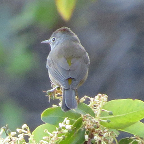 Colima Warbler, photo by Don Faulkner via Wiki Commons