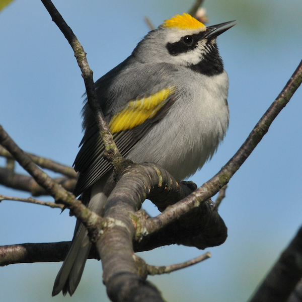 Golden-winged warbler, photo by Brian Henry.