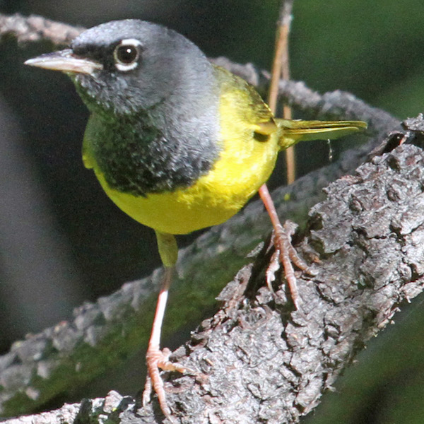 MacGillivray's Warbler, photo by Greg Schechter.
