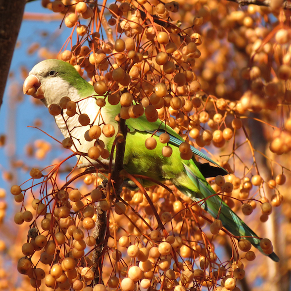 Monk parakeet, photo by Katja Schultz via Wiki Commons