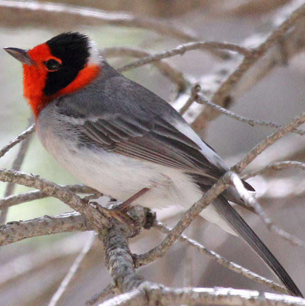 Red-faced Warbler, photo by Dominic Sherony via Wiki Commons