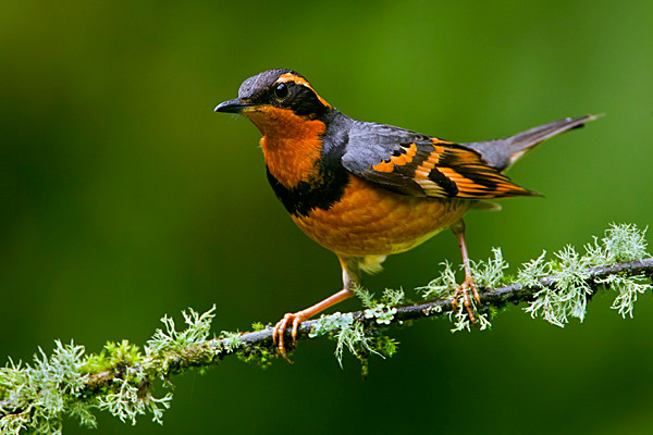 Varied thrush by Elanor Bricceti / Wikimedia.
