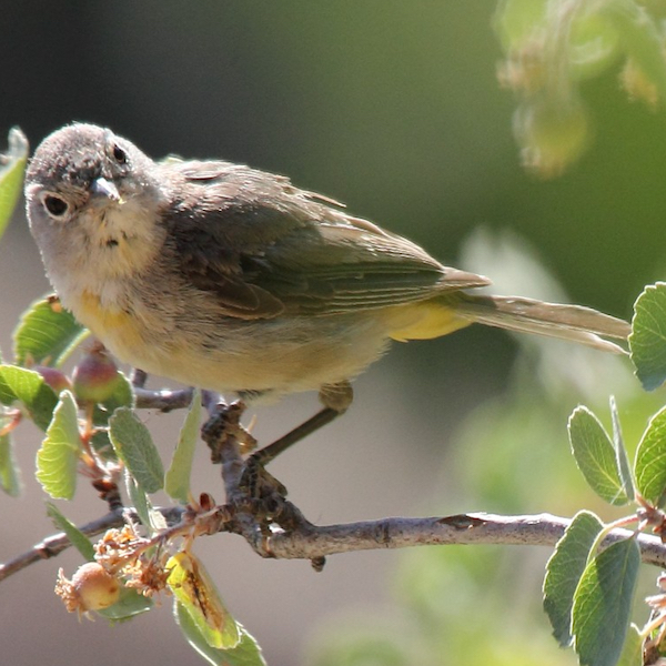 Virginia's Warbler, photo by Dominic Sherony
