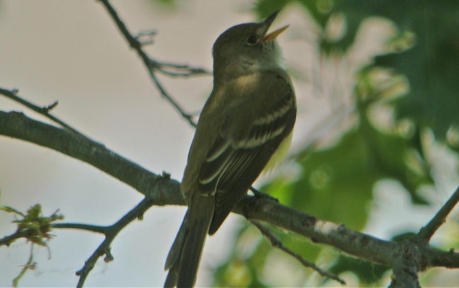 Willow flycatcher, photo by Andy Reago and Chrissy McClarren.