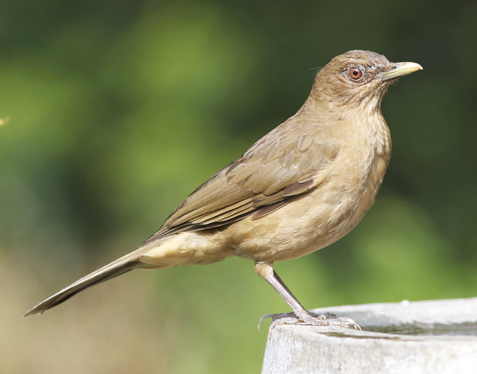 Clay-colored thrush by Joseph C. Boone / Wikimedia.