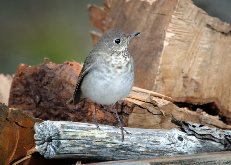 Gray-cheeked thrush. Photo courtesy of Shutterstock.