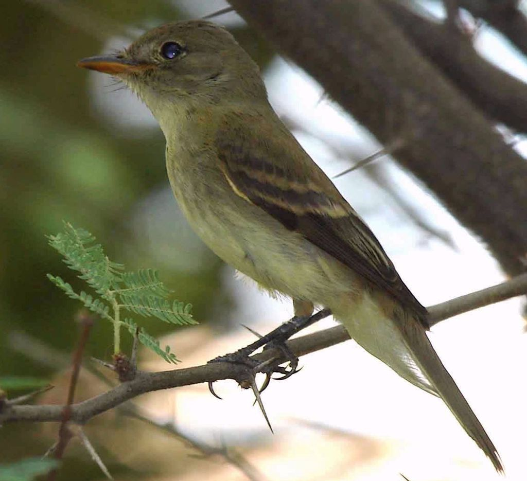 Southwestern Willow Flycatcher , photo by Jim Rorabaugh