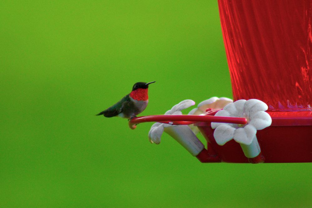 Ruby-throated hummingbird by Sarah Wockenfuss